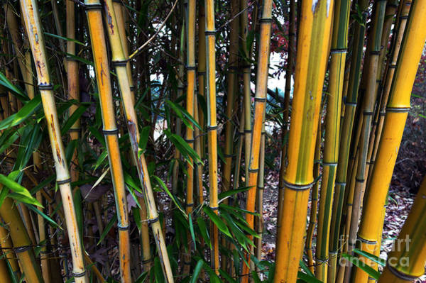 Photograph - Yellow Bamboo by John Rizzuto