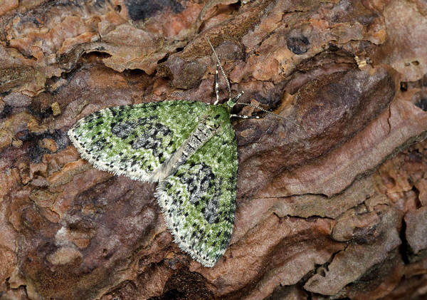 Entomology Photograph - Yellow-barred Brindle Moth by Nigel Downer
