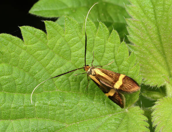 Biological Photograph - Yellow-barred Longhorn Moth by Nigel Downer