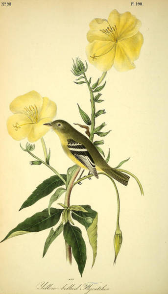 Flycatcher Painting - Yellow-bellied Flycatcher by Philip Ralley
