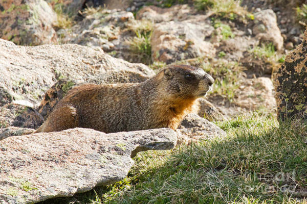 Photograph - Yellow Bellied Marmot In Rocky Mountain National Park by Fred Stearns