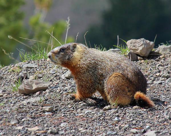 Photograph - Yellow Bellied Marmot by Jemmy Archer