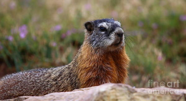 Marmot Photograph - Yellow Bellied Marmot by Marty Fancy