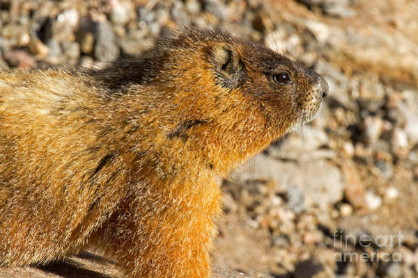 Photograph - Yellow Bellied Marmot On Lookout In Rocky Mountain National Park by Fred Stearns