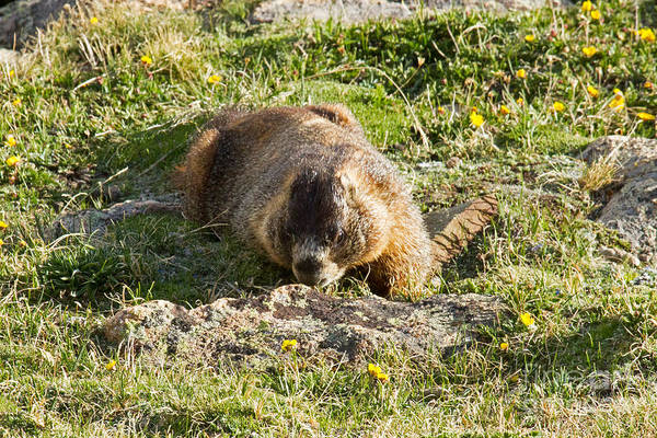 Photograph - Yellow Bellied Marmot Smelling The Flowers In Rocky Mountain National Park by Fred Stearns