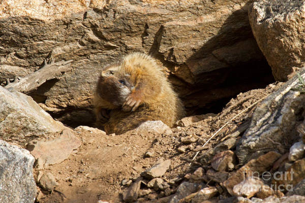 Photograph - Yellow Bellied Marmot Speaking To The Hand In Rocky Mountain National Park by Fred Stearns