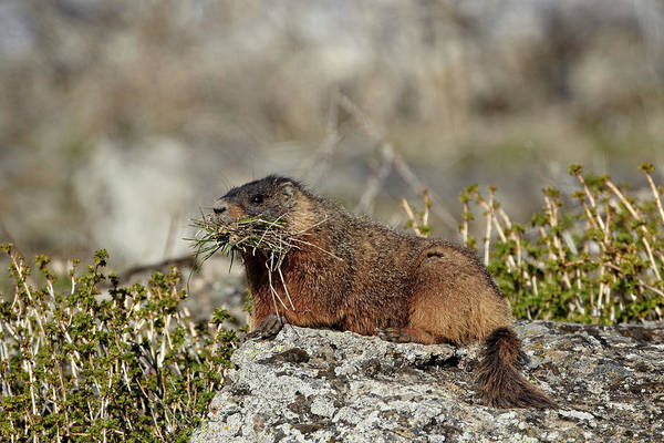 Urban Wildlife Photograph - Yellow-bellied Marmot Yellowbelly by James Hager / Robertharding