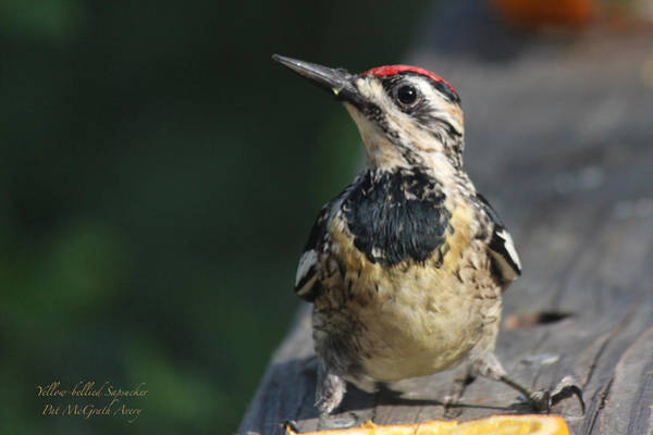 Photograph - Yellow-bellied Sapsucker by Pat McGrath Avery