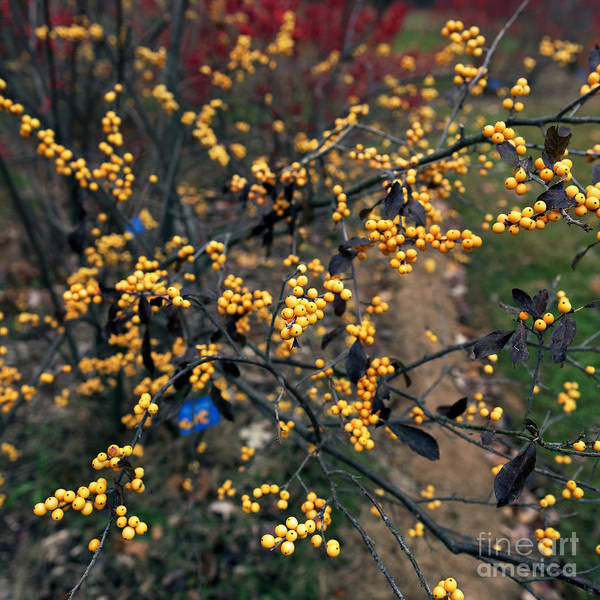 Photograph - Yellow Berries by John Rizzuto
