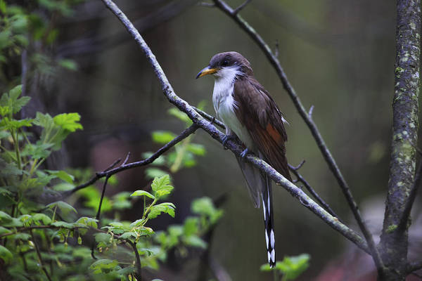 Cuculidae Photograph - Yellow-billed Cuckoo by Gary Hall