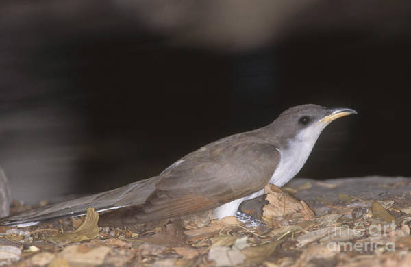 Cuculidae Photograph - Yellow-billed Cuckoo by Gregory G. Dimijian, M.D.