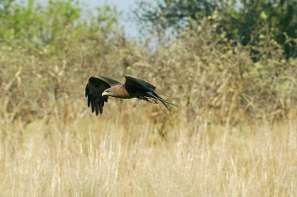 Flying Kite Photograph - Yellow-billed Kite In Flight by Dr P. Marazzi/science Photo Library