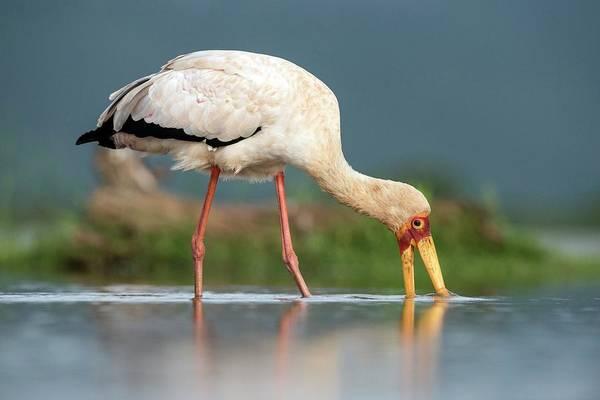 Behaviour Photograph - Yellow-billed Stork Feeding by Tony Camacho/science Photo Library