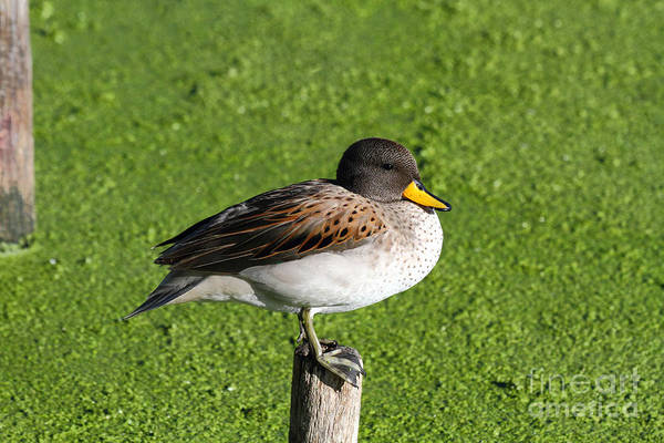 Photograph - Yellow Billed Teal Portrait by James Brunker