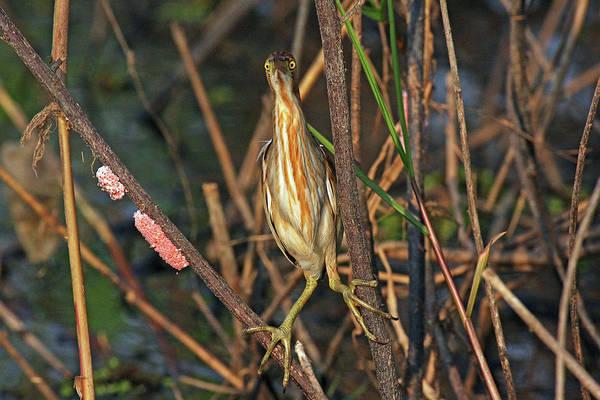 Ixobrychus Photograph - Yellow Bittern by Robert Kennett