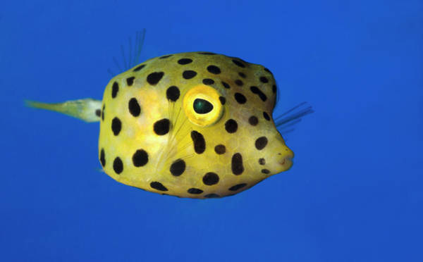 Ichthyology Wall Art - Photograph - Yellow Boxfish by Nigel Downer