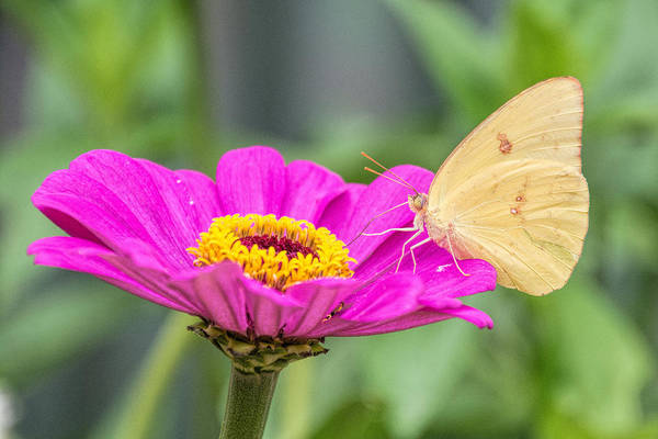 Photograph - Yellow Butterfly  by Jeanne May