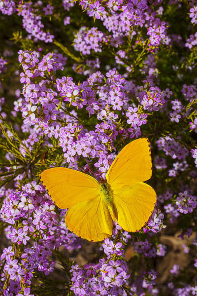 Butterfly Bush Wall Art - Photograph - Yellow Butterfly On Pink Flowers by Garry Gay