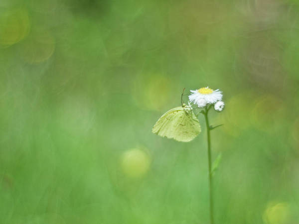 Insect Photograph - Yellow Butterfly by Polotan