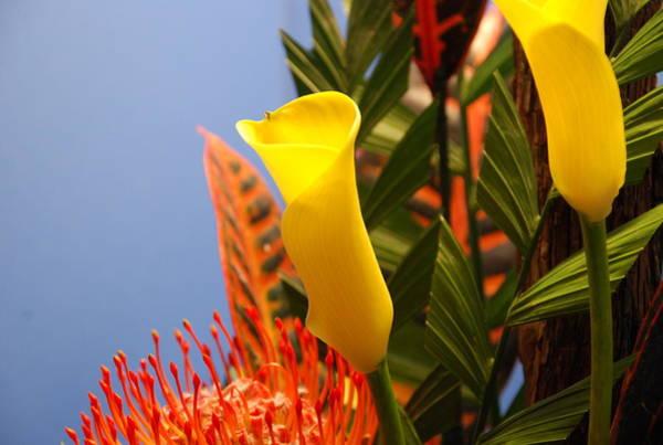 Photograph - Yellow Calla Lilies by Jennifer Ancker