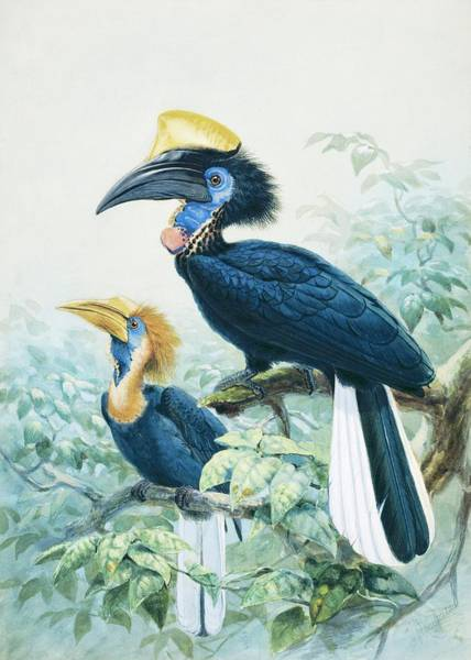Hornbill Photograph - Yellow-casqued Hornbill by Natural History Museum, London/science Photo Library
