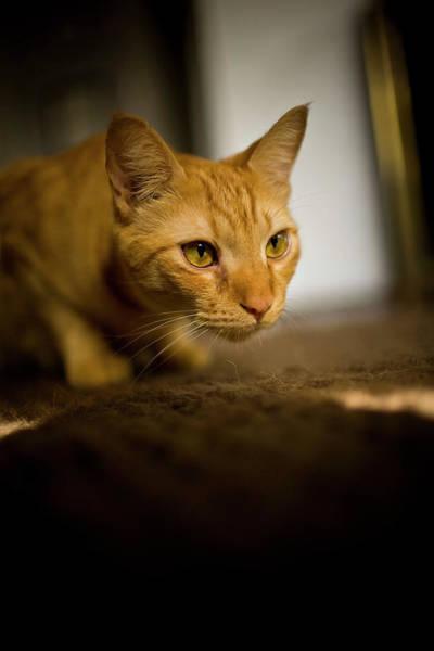Sneak Photograph - Yellow Cat On The Prowl, Portland by Jan Sonnenmair