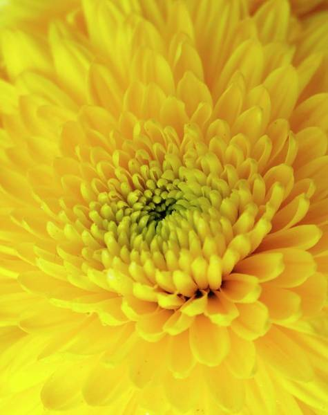 Asteraceae Wall Art - Photograph - Yellow Chrysanthemum by Ian Gowland/science Photo Library