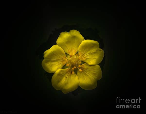 Cinquefoil Photograph - Yellow Cinquefoil by Mitch Shindelbower
