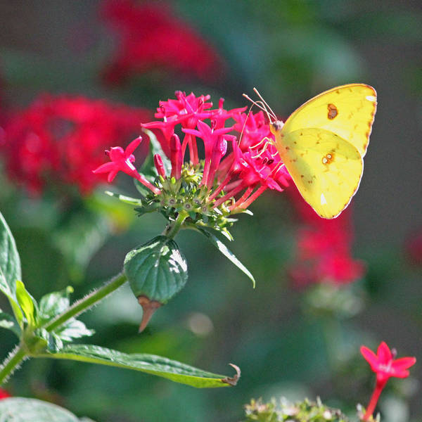 Summertime Wall Art - Photograph - Yellow Clouded Sulphur Butterfly by Suzanne Gaff
