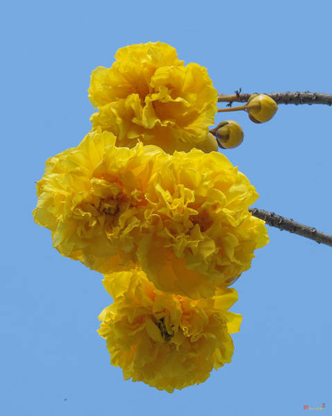 Photograph - Yellow Cotton Tree Dthb1533 by Gerry Gantt