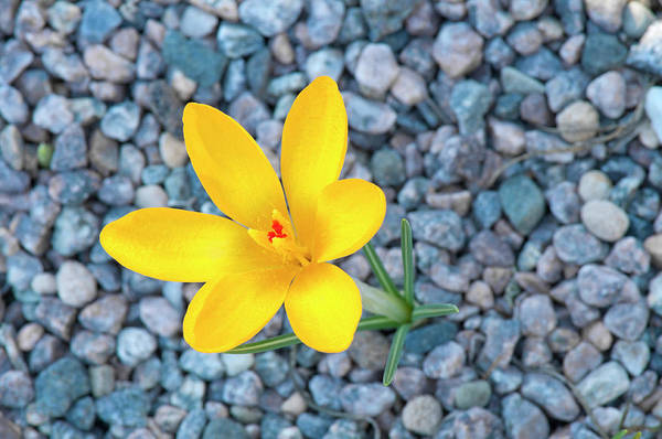 Wall Art - Photograph - Yellow Crocus Macro by Clagge