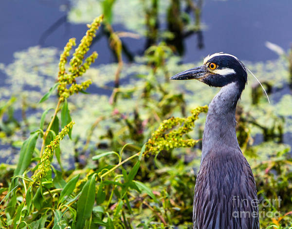 Wall Art - Photograph - Yellow-crowned Night Heron Alarmed by Ellie Teramoto