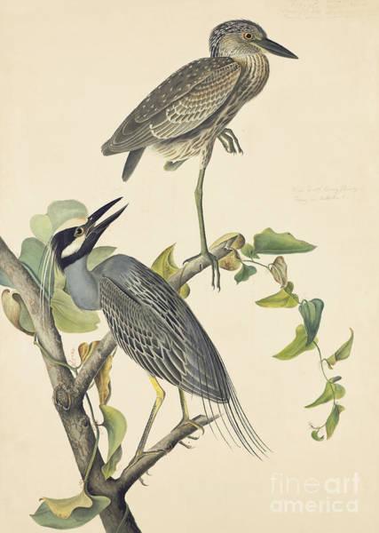 Drawing - Yellow-crowned Night-heron by John James Audubon