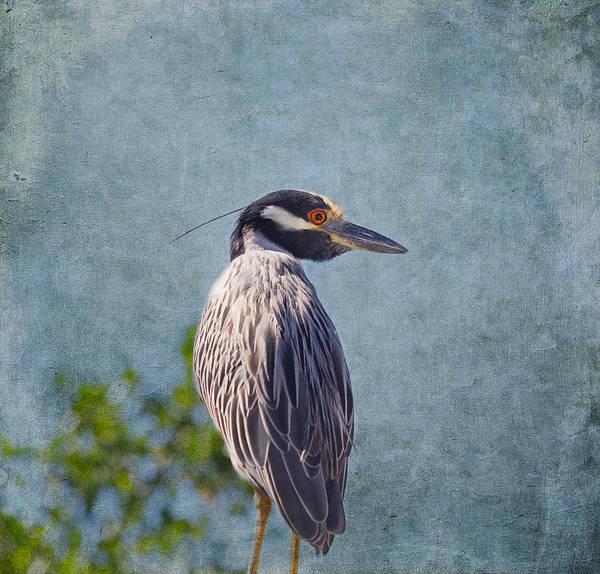 Night-heron Photograph - Yellow Crowned Night Heron by Kim Hojnacki