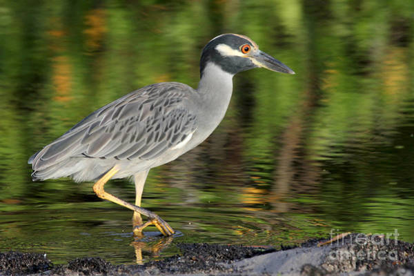 Photograph - Yellow Crowned Night Heron by Meg Rousher