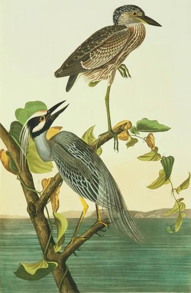 Night-heron Photograph - Yellow-crowned Night Heron by Natural History Museum, London/science Photo Library