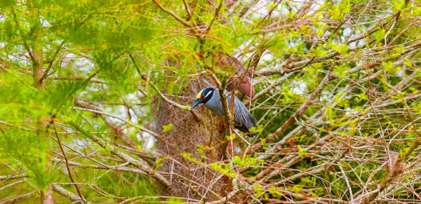 Boynton Photograph - Yellow-crowned Night Heron Nyctanassa by Panoramic Images