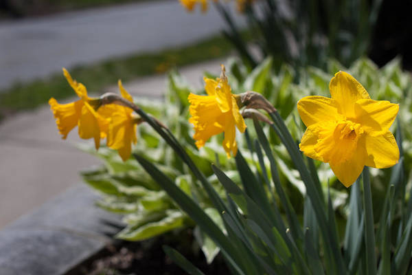 Photograph - Yellow Daffodil Flowers - Perspective by Kirkodd Photography Of New England