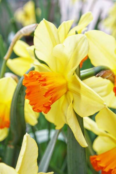 Wall Art - Photograph - Yellow Daffodils  by Cathie Tyler