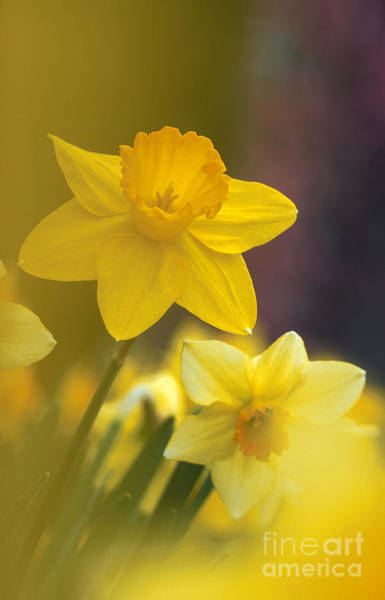 Photograph - Yellow Daffodils  by Chris Scroggins