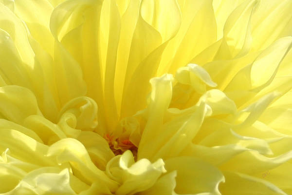 Wall Art - Photograph - Yellow Dahlia Burst by Ben and Raisa Gertsberg