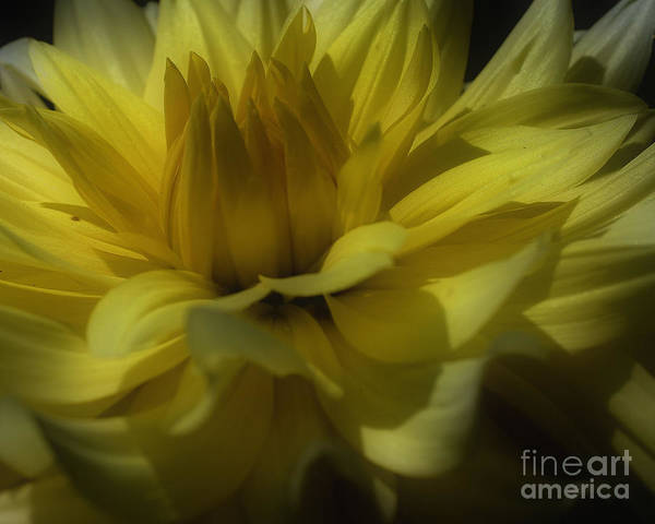 Photograph - Yellow Dahlia Flower Petals by Smilin Eyes  Treasures