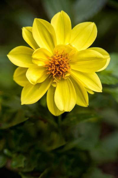 Photograph - Yellow Dahlia Portrait by  Onyonet  Photo Studios