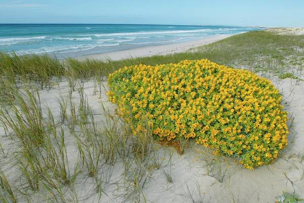 African Daisies Photograph - Yellow Daisy Bush On Coastal Sand Dune by Peter Chadwick/science Photo Library