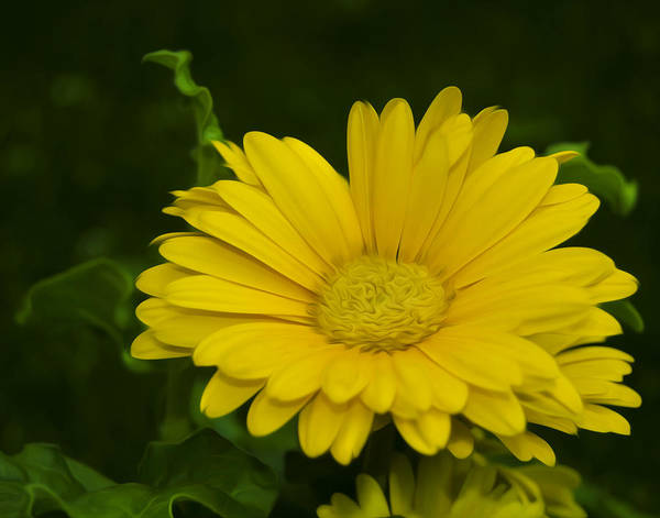 Wall Art - Photograph - Yellow Daisy  by Dave Sandt