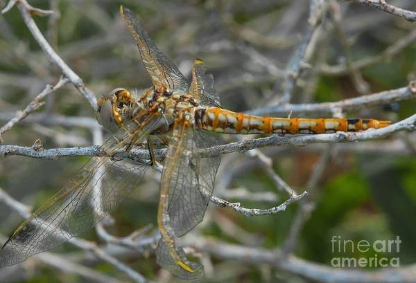 Photograph - Yellow Dragonfly by Mae Wertz