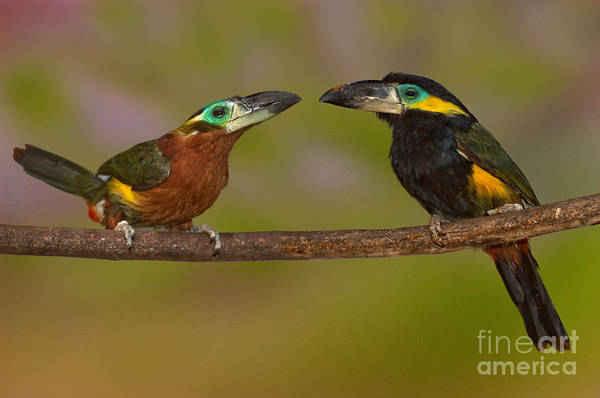 Ramphastidae Photograph - Yellow-eared Toucanet Pair by Anthony Mercieca