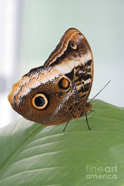 Wall Art - Photograph - Yellow-edged Giant Owl Butterfly #3 by Judy Whitton