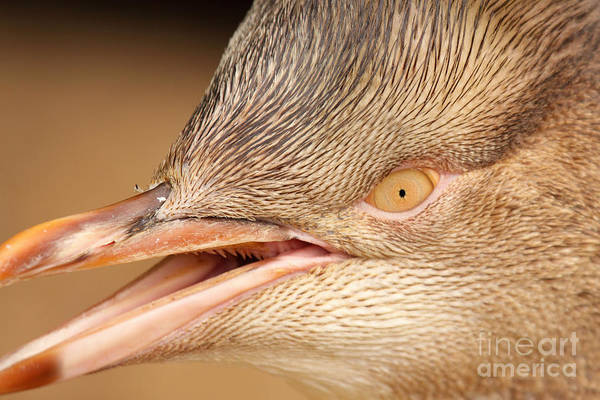 Wall Art - Photograph - Yellow-eyed Penguin Calling by Max Allen