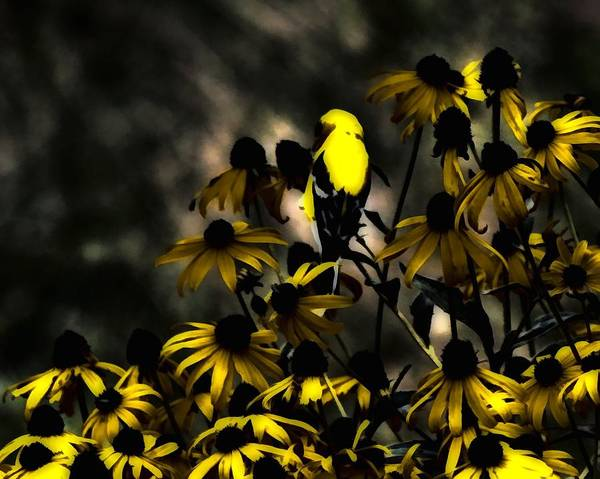 Photograph - Yellow Finch by John Feiser